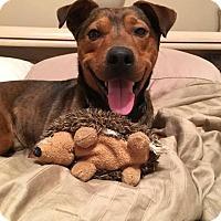 Shepherd (Unknown Type)/Terrier (Unknown Type, Small) Mix Dog for adoption in Romeoville, Illinois - Abe