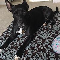 Adopt A Pet :: Shasta - Fairfax Station, VA