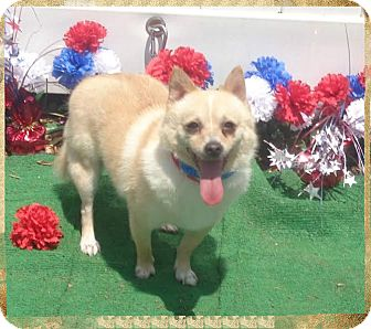 Chihuahua Mix Dog for adoption in Marietta, Georgia - MAX