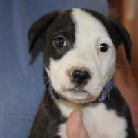Adopt A Pet :: KRIS - New palestine, IN