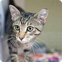 Adopt A Pet :: Bagheera 17-0169 - Richardson, TX