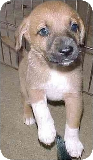 Rat Terrier Mix Puppy for adoption in North Judson, Indiana - Daisy's Pup 1