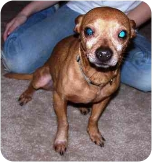 Miniature Pinscher Mix Dog for adoption in Osseo, Minnesota - Troy
