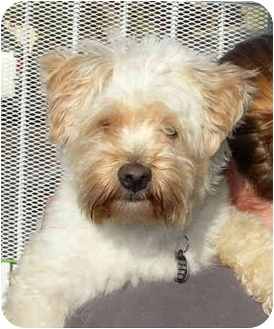 Wheaten Terrier/Poodle (Miniature) Mix Dog for adoption in El Segundo, California - Teddie