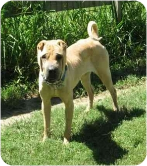 Shar Pei Dog for adoption in Houston, Texas - York