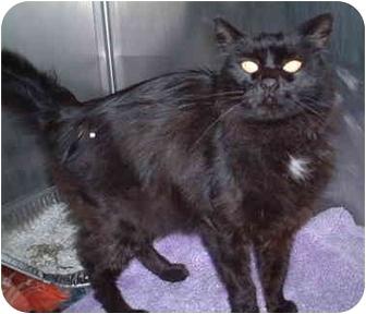Domestic Longhair Cat for adoption in Honesdale, Pennsylvania - Kanji