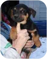 Beagle Mix Puppy for adoption in Lonedell, Missouri - Innis