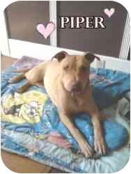 Labrador Retriever/Bull Terrier Mix Dog for adoption in Sacramento, California - Piper, loving girl