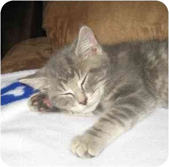 Domestic Shorthair Kitten for adoption in Upland, California - Cody