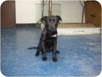 "Labrador Retriever Mix Puppy for adoption in MARION, Virginia - ""Hope"""