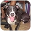 Photo 1 - American Pit Bull Terrier Mix Dog for adoption in Reisterstown, Maryland - Harriet