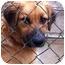 Photo 1 - Golden Retriever Mix Puppy for adoption in Hagerstown, Maryland - Dash