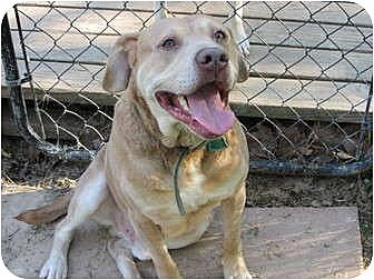 American Bulldog/Labrador Retriever Mix Dog for adoption in Memphis, Tennessee - Bear