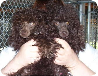 Toy Poodle Mix Puppy for adoption in Somerset, Pennsylvania - Honey-Sweetie