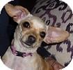 Chihuahua Dog for adoption in Hamilton, Ontario - Peanut (Baby)