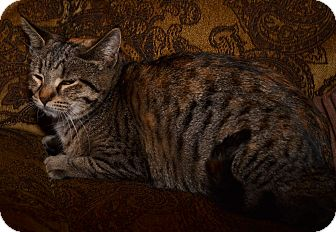 American Shorthair Kitten for adoption in Syracuse, New York - Sandy