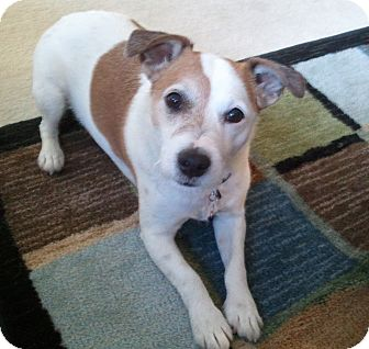 Jack Russell Terrier Dog for adoption in Invermere, British Columbia - Deisel