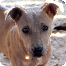 Pit Bull Terrier Mix Dog for adoption in Philadelphia, Pennsylvania - Fawn