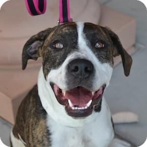 Rhodesian Ridgeback/American Staffordshire Terrier Mix Puppy for adoption in Gilbert, Arizona - Bay