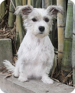 Terrier (Unknown Type, Small)/Westie, West Highland White Terrier Mix Dog for adoption in North Palm Beach, Florida - Bella