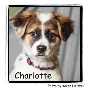 Great Pyrenees Mix Puppy for adoption in Warren, Pennsylvania - Charlotte
