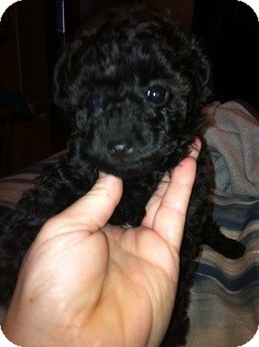 Toy Poodle Puppy for adoption in Treton, Ontario - Courtesy post (Toy )