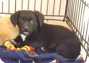 Pekingese/Beagle Mix Puppy for adoption in Las Vegas, Nevada - Daesee