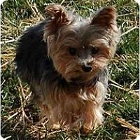 Adopt A Pet :: Katie - Charlotte, NC