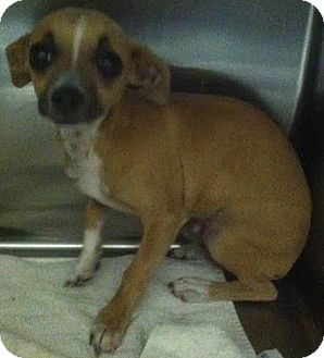 Chihuahua Mix Dog for adoption in Westminster, California - P'Air