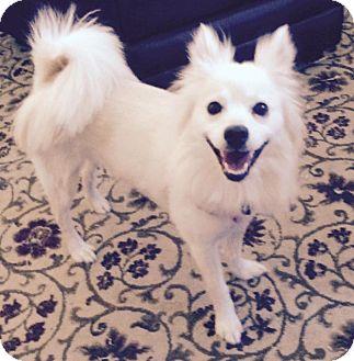 Pomeranian/American Eskimo Dog Mix Dog for adoption in Edmond, Oklahoma - Willow