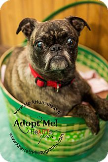 Pug Mix Dog for adoption in Mohawk, New York - Pepper