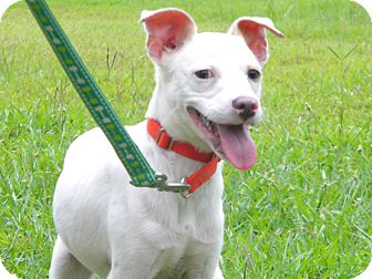 Jack Russell Terrier Mix Dog for adoption in Ocean Springs, Mississippi - Charles