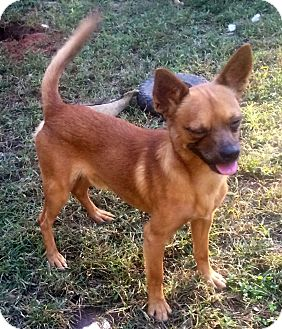 Chihuahua/Terrier (Unknown Type, Small) Mix Dog for adoption in North Brunswick, New Jersey - Petey