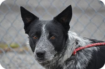 Australian Cattle Dog Mix Dog for adoption in Morgantown, West Virginia - Blue