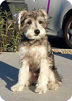 Schnauzer (Miniature) Dog for adoption in Chandler, Arizona - Archie