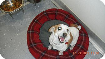 Jack Russell Terrier Mix Dog for adoption in Sandusky, Ohio - BELLA