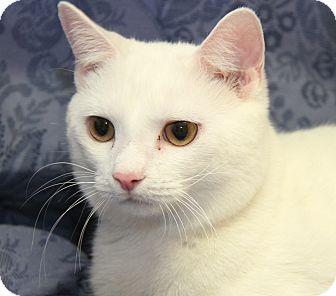 Domestic Shorthair Cat for adoption in Marietta, Ohio - Snowball (Neutered)