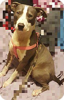 Labrador Retriever/American Staffordshire Terrier Mix Dog for adoption in Austin, Texas - Stella