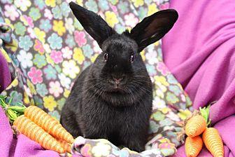 Mini Lop for adoption in Erie, Pennsylvania - Max