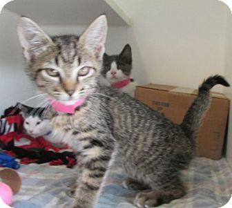 Domestic Shorthair Kitten for adoption in Aiken, South Carolina - CORDELIA