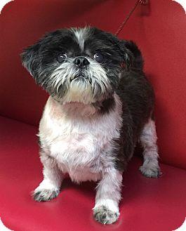 Shih Tzu Dog for adoption in Los Angeles, California - Darren