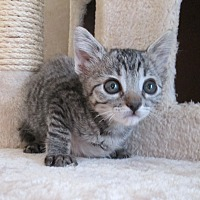 Domestic Shorthair Cat for adoption in San Bernardino, California - Buccaneer