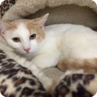 Domestic Mediumhair Cat for adoption in Balto, Maryland - Bella