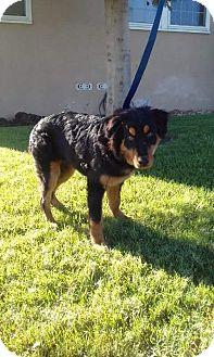 Golden Retriever/Rottweiler Mix Puppy for adoption in BONITA, California - Keno
