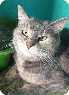 Domestic Shorthair Cat for adoption in Breinigsville, Pennsylvania - Athena