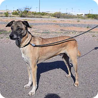 German Shepherd Dog Mix Dog for adoption in Sierra Vista, Arizona - Cowboy