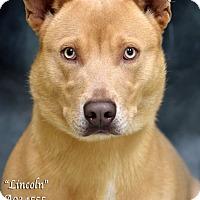 Adopt A Pet :: Lincoln - Newnan City, GA