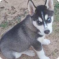 Adopt A Pet :: Mocha - Apple valley, CA