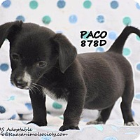 Adopt A Pet :: Paco - Spring, TX