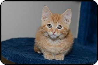 Domestic Shorthair Kitten for adoption in Brick, New Jersey - Chad